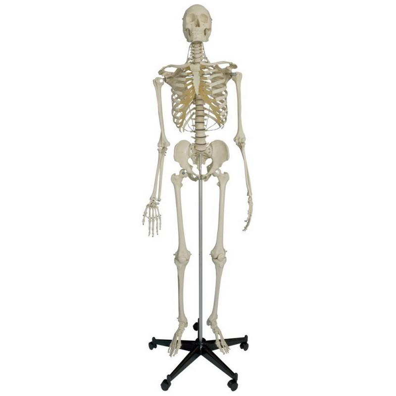 Skelett - Thinum GmbH