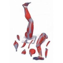 Muskelbein