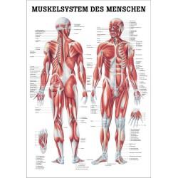 Lehrtafel 40x 60 cm ( Poster ) WS ,Dermatome, Muskel, Herz ,Knie ,HŸfte, menschl.Kšrper...etc