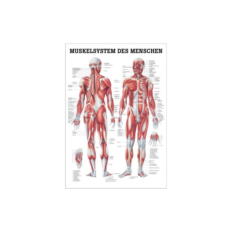 Großartig Muskel Malvorlagen Anatomie Ideen - Ideen färben ...