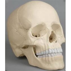 Occiput (Osteopathie Schädelmodell, 22-teilig, didaktische Ausführunghrung)
